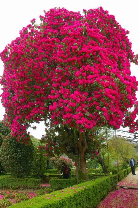 Rhododendron A Bush Big Enough To Be A Tree Amazing And