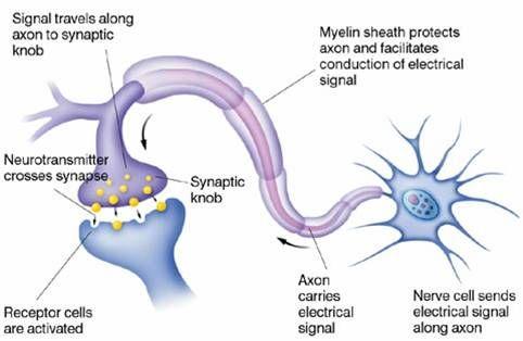Epilepsy brain neuron diagram wiring diagram electricity basics neuron synapse epilepsy awareness pinterest epilepsy rh pinterest com brain compression epilepsy brain activity ccuart Image collections
