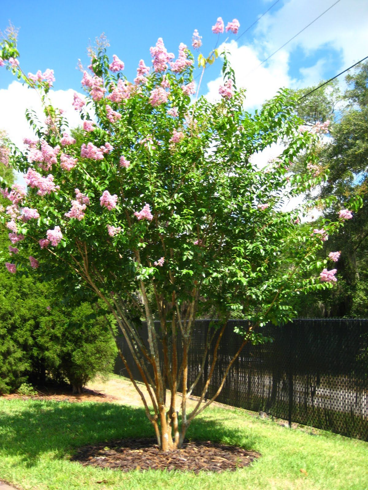 Crape Myrtle (Lagerstroemia indica) Crape Myrtles range in size from ...