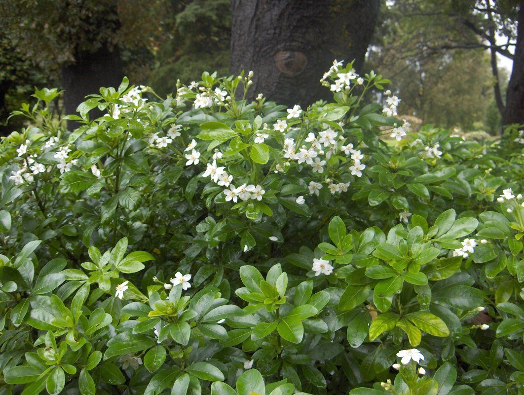 Choisya ternata hedge mexican orange blossom informal for Typical landscaping plants