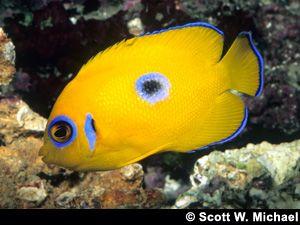 Lemonpeel Angelfish Saltwater Fish Tanks Marine Fish Aquarium Fish Tank
