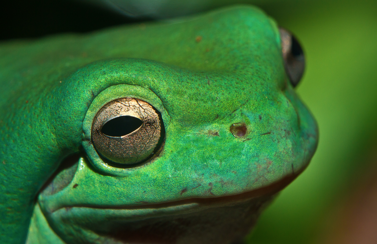 "sdzoo:  The waxy blue-green color and the rolling skin folds of fatty material have earned the White's tree frog the nickname ""dumpy tree frog."" 