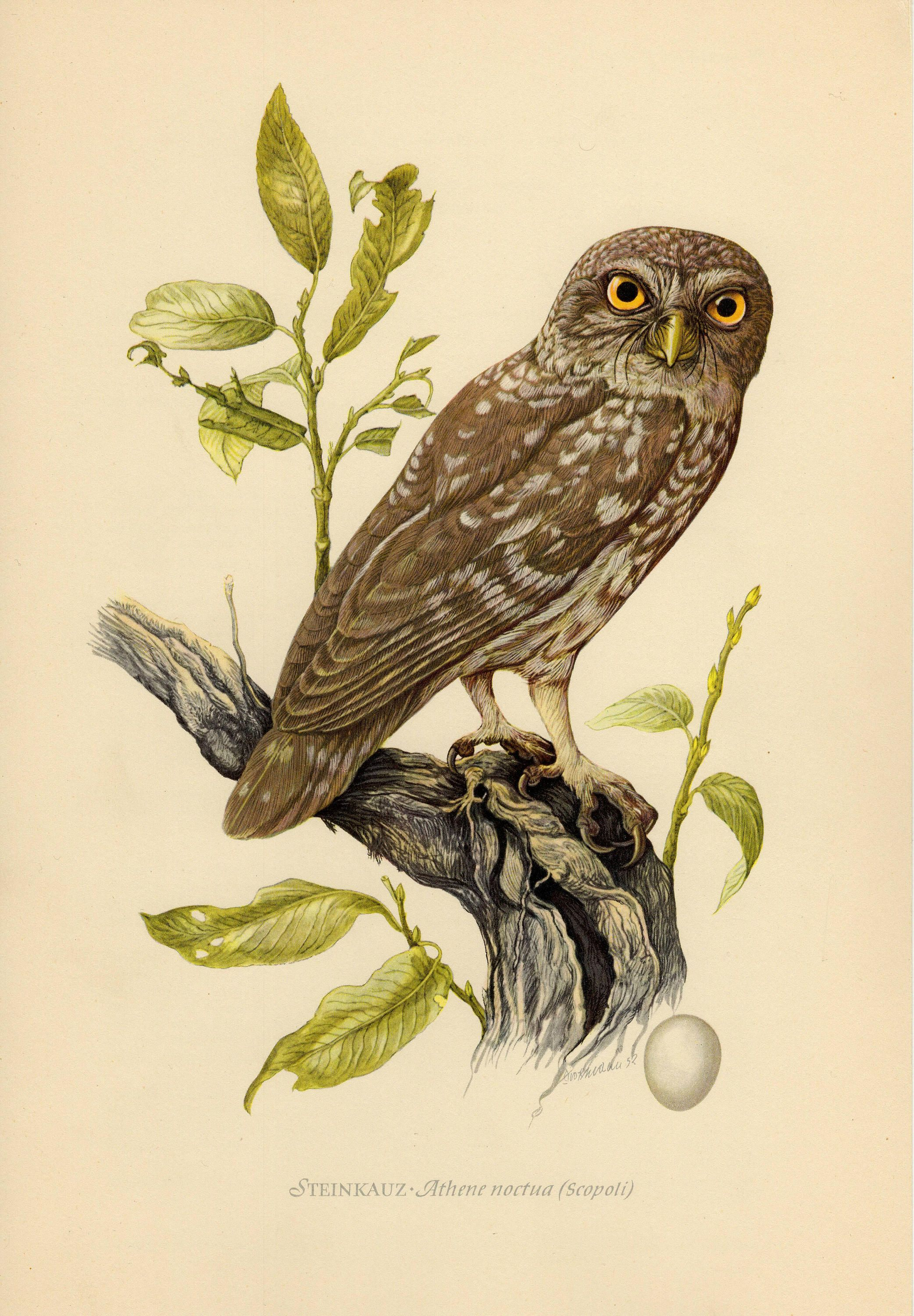 Vintage Lithograph Of The Little Owl From By
