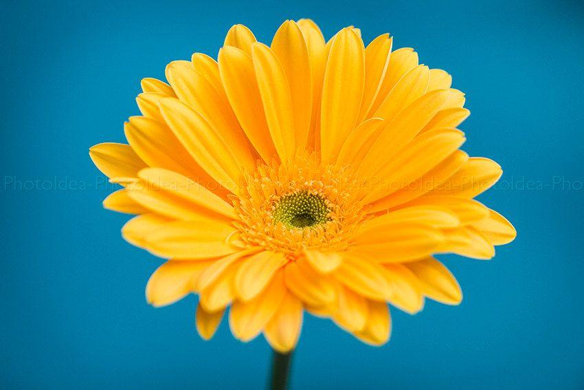Gerbera gialla,fiore fondo blu,luce e sole,fotografia macro ...