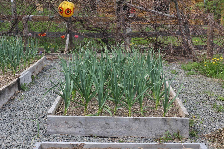 Garlic Comparison Raised Bed VS Ground Planting Above