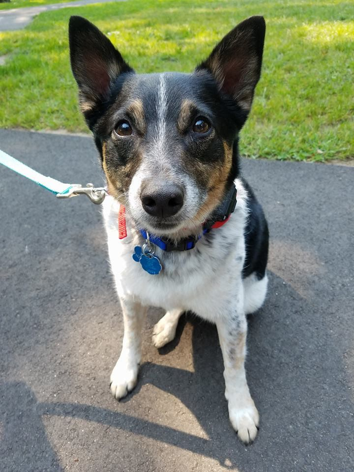 Adopt Ryder on Small dog rescue, Terrier mix dogs