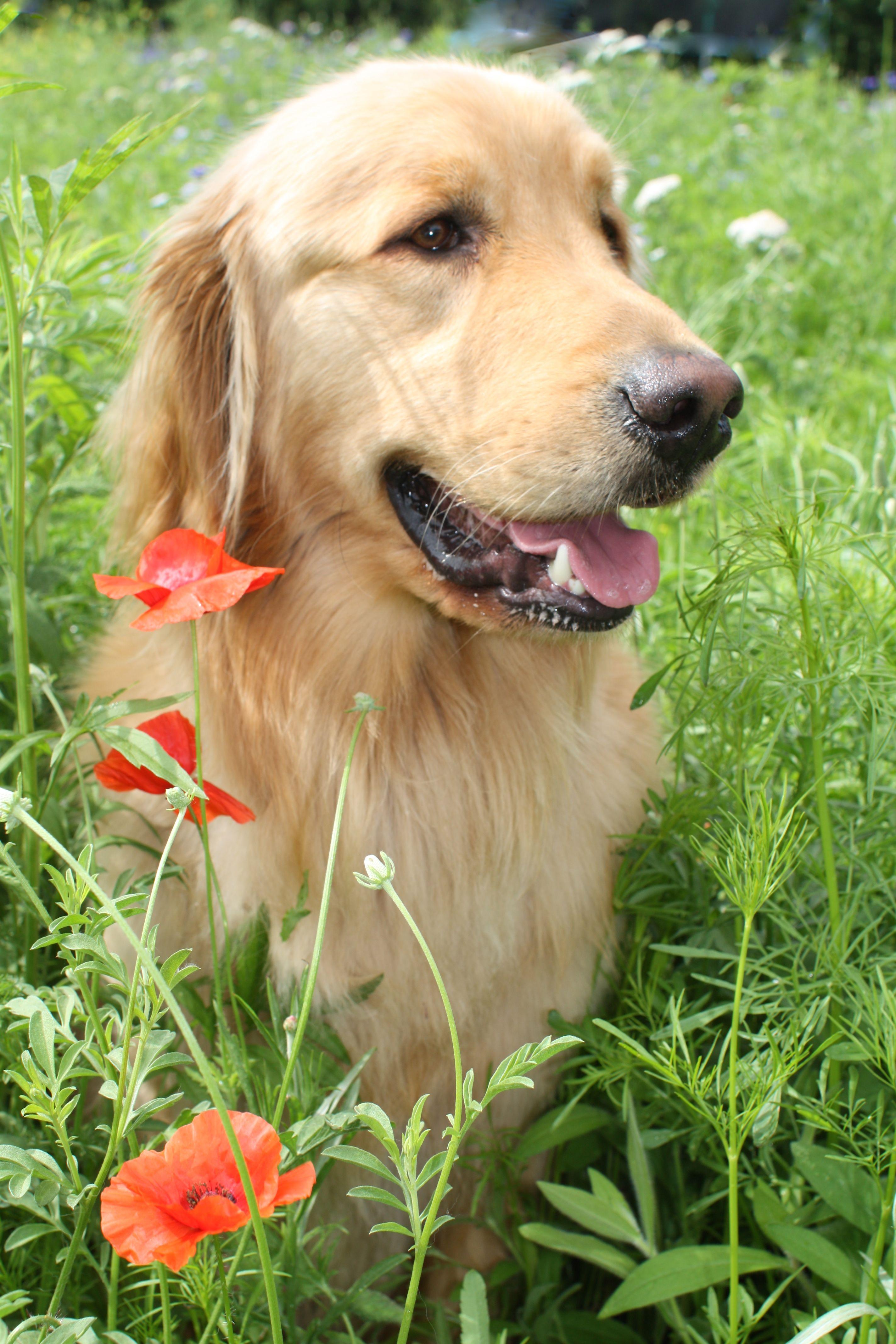 Finn in the poppies Dogs golden retriever, Golden