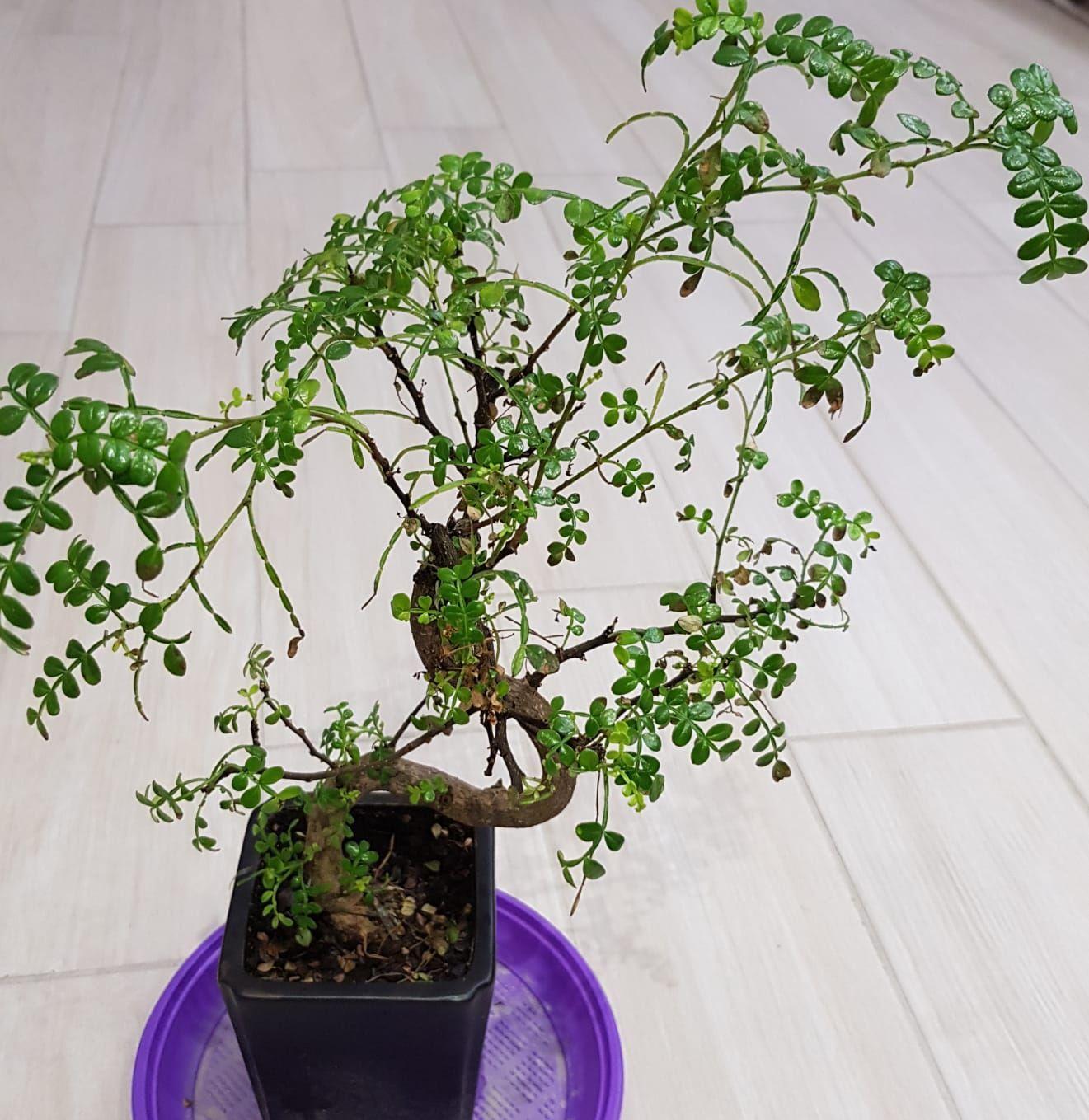 primo bonsai pepper tree: chiedo consigli 0f5e767b087f8820bdca4cb2fcfec375