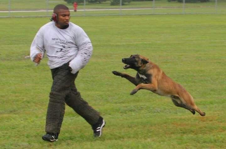 Pin By Nb Rh On Belgian Malinois Police Dog Training Belgian