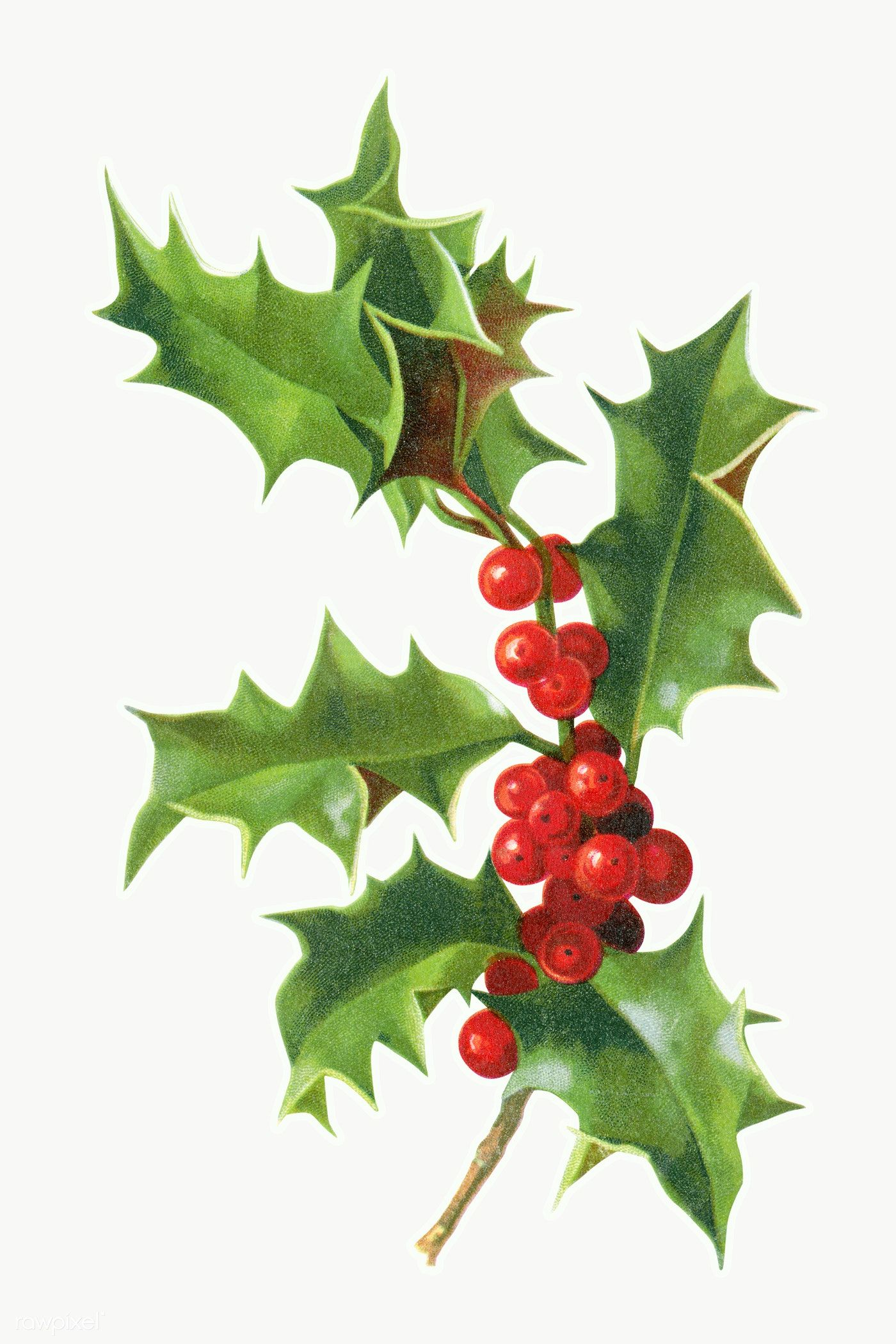 Download Premium Png Of Festive Holly Leaves Transparent Png 1232668 Holly Leaf Vintage Christmas Xmas Drawing