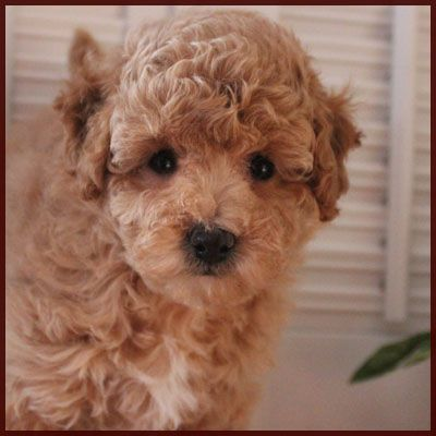Rolling Meadows Puppies Poochon Puppies AVAILABLE
