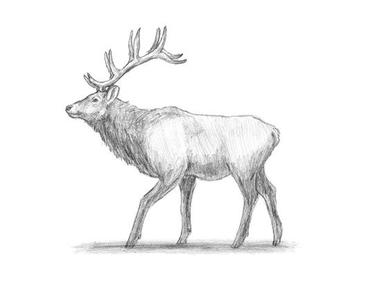 Draw an Elk | Doodle It | Pinterest | Elk, Drawings and ...