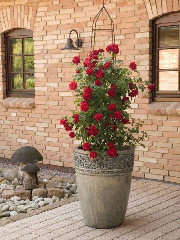 31++ Rosen im kuebel pflanzen Sammlung