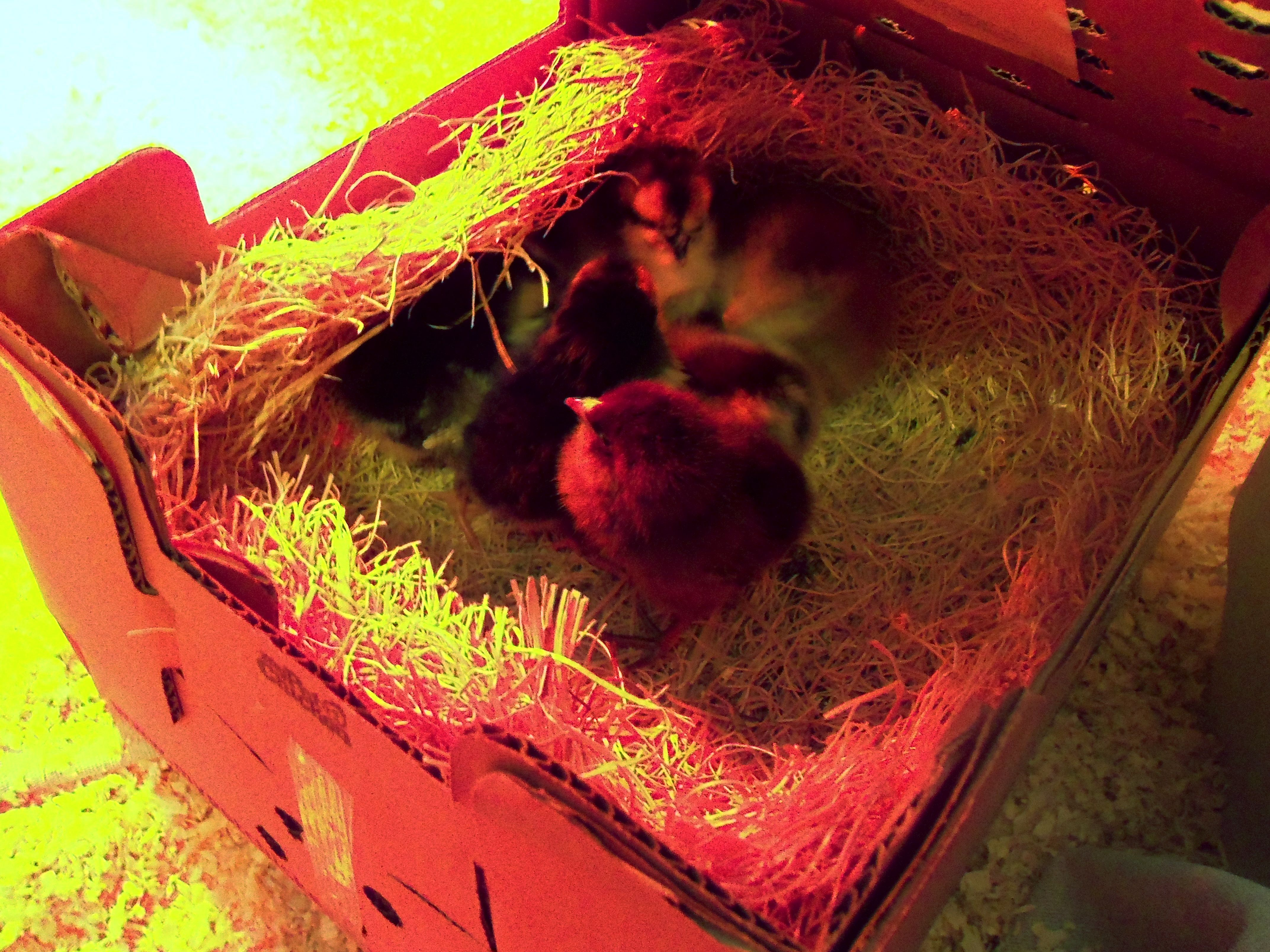 Brooder Box for baby Chicks: A Tutorial