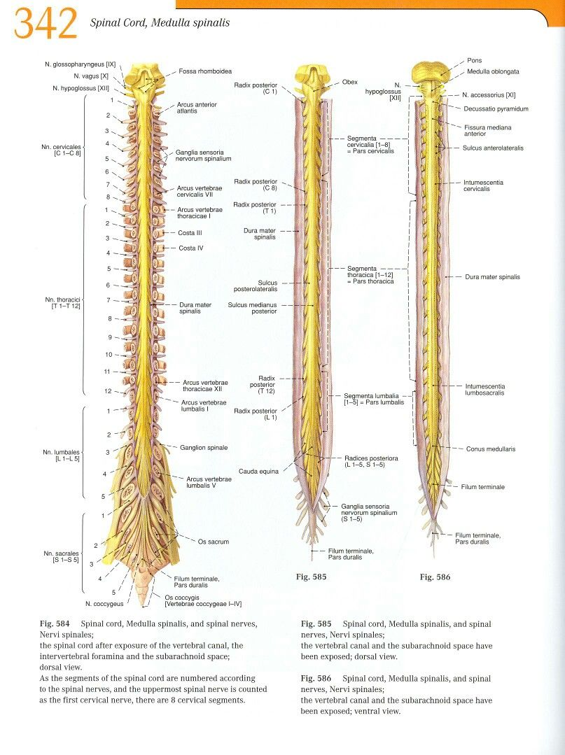 Pin by Hüseyin Yiner on Anatomy of the Nerve system | Pinterest