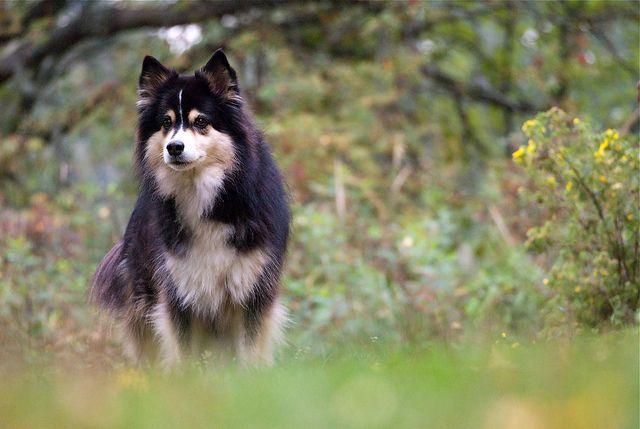 Focused By Teemu Oksanen Via Flickr Finnish Lapphund Finnish Lapphund Animals Friends Little Dogs