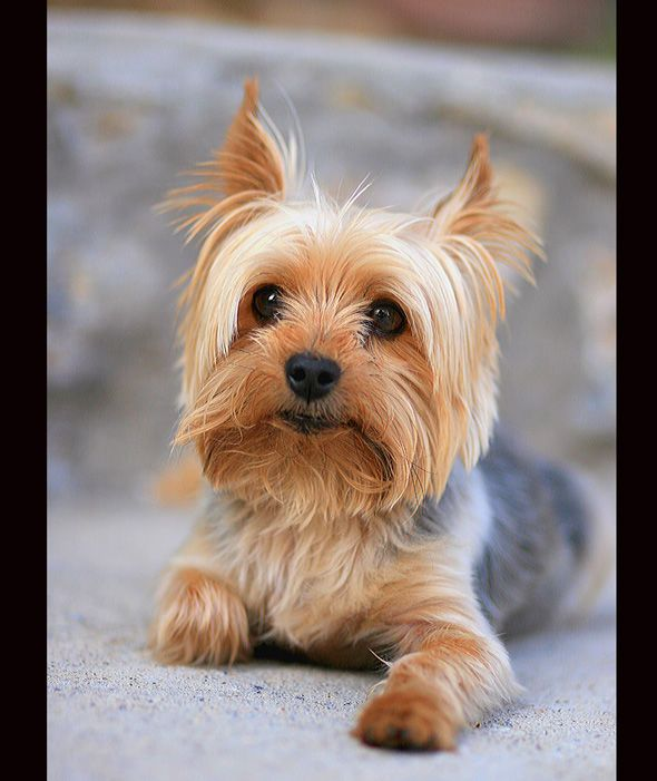 Is This Dog Driving A Car Or An Optical Illusion Video Causes Mass Internet Confusion Yorkshire Terrier Dog Toy Dog Breeds Yorkshire Terrier Puppies