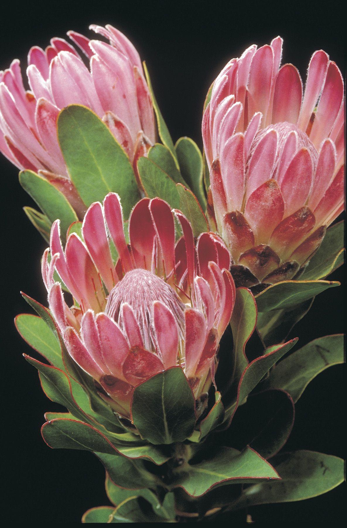 Protea Pink Ice Australian Flowers Botanical Flowers Australian Native Flowers