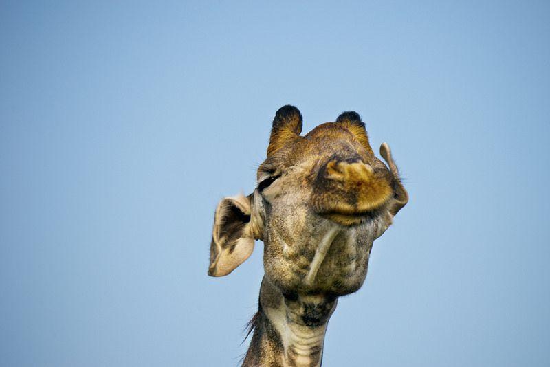 Giraffe Faces 1