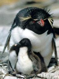 Especies En Peligro De Extinción Pinguino Amarillo Animales En Peligro De Extincion Animales Bebés Especies En Peligro De Extinción