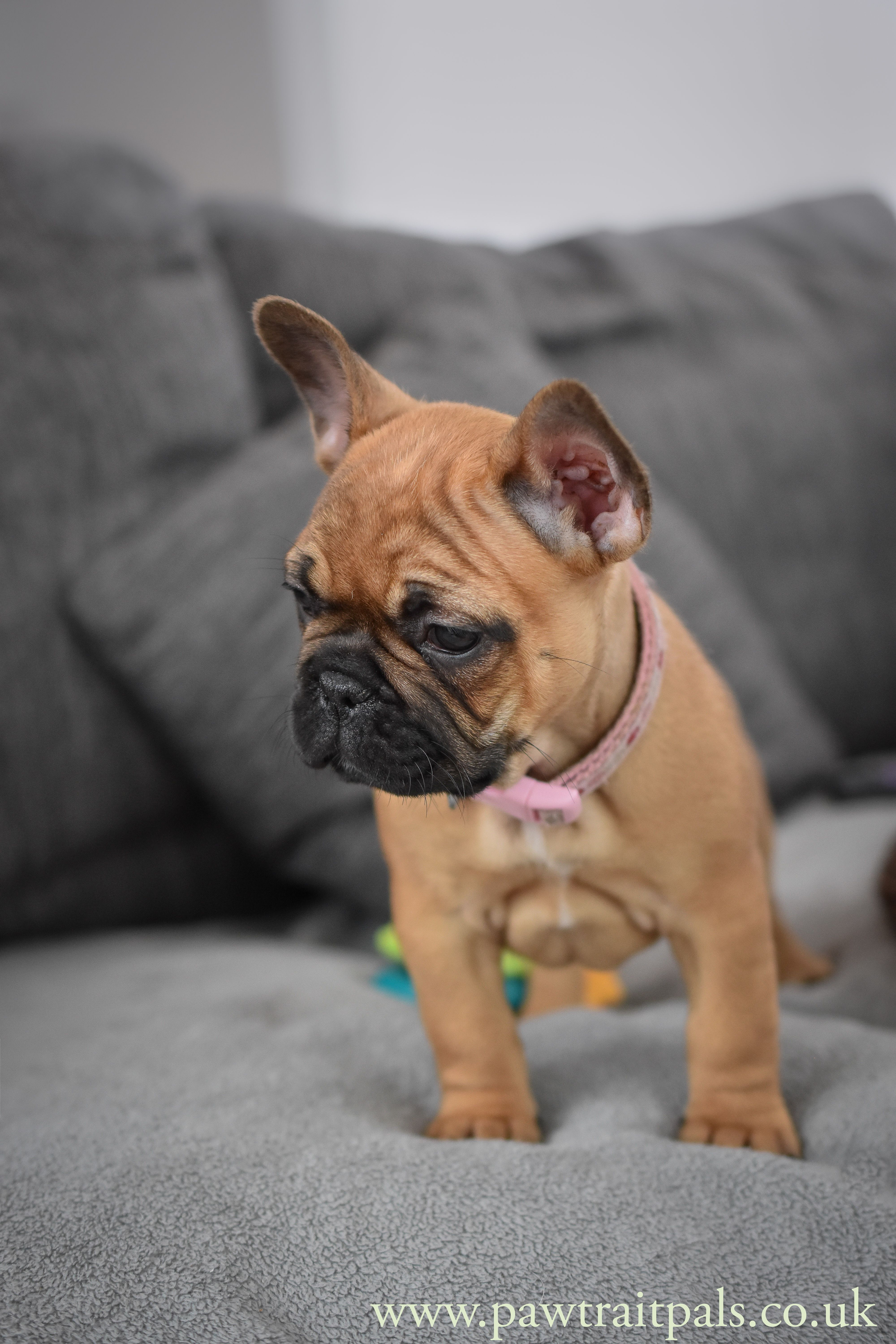 Olive French Bulldog Puppy Buldog Chiots Bouledogues Chien Mignon Animaux Mignons
