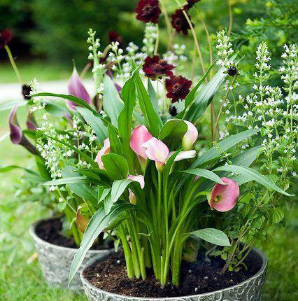 Letnie Kwiaty Cebulowe W Donicach Na Balkony I Do Ogrodu Naogrodowej Pl Plants