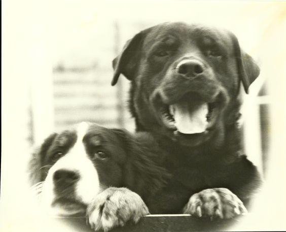 Puppy Bernese Mountain Dog -Yogi & Rocky the Rottweiler -Romford 1979
