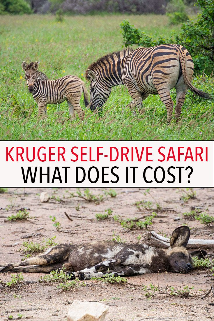 How Much Does a Kruger National Park SelfDrive Safari Cost  is part of How Much Does A Kruger National Park Self Drive Safari Cost - Find out exactly how much a Kruger National Park selfdrive safari costs in South Africa  This is one of the most affordable safaris in Africa!