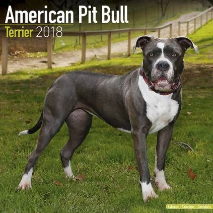 Avonside Hunde Kalender 2018 Avonside Hunde Wandkalender 2018 American Pitbull Terrier Mit Bildern Hunde Pitbull Terrier American Pitbull