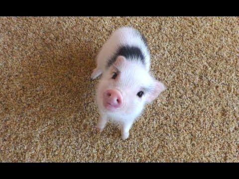 Swinie Znamy Przede Wszystkim Jako Zwierze Domowe Hodowlane Ktore Dostarcza Nam Miesa Tluszczu I Skory Jedna Cute Piglets Cute Little Animals Cute Animals