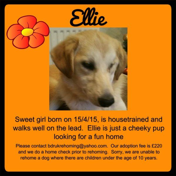 Ellie is a pup in training. Please share! forever home