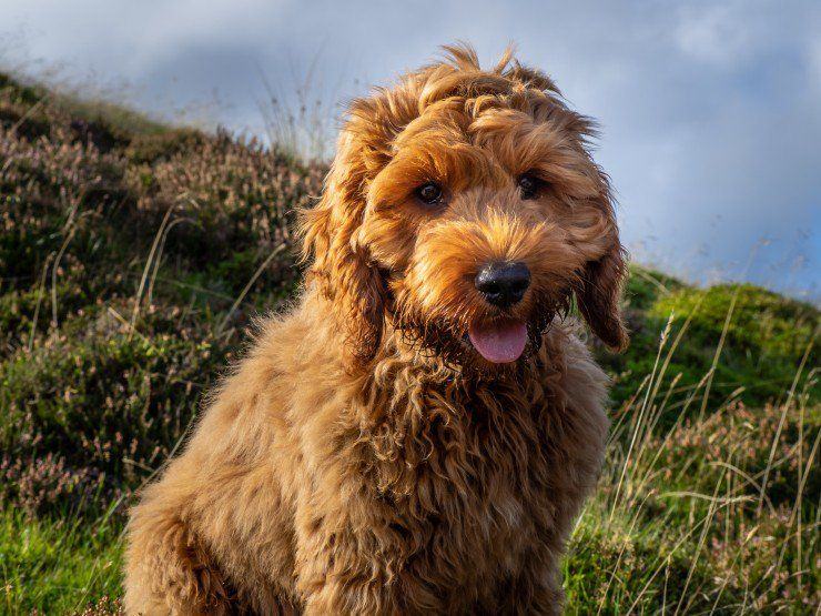 Pets4homes Announces The Seven Most Popular Hybrid Dog Types In The Uk Pets4homes In 2020 Cockapoo Cockapoo Dog Cockapoo Puppies