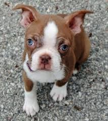 Image Result For Blue Boston Terrier Puppies For Sale New Puppy