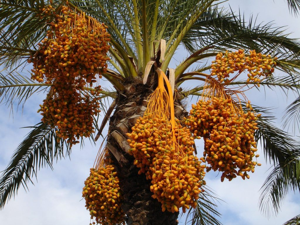ما هي فوائد البلح للجسم والصحة موسوعة Fruit Easy Plants Dates Benefits
