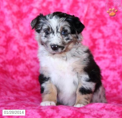 Australian Shepherd Puppies For Sale Australian Shepherd Puppies