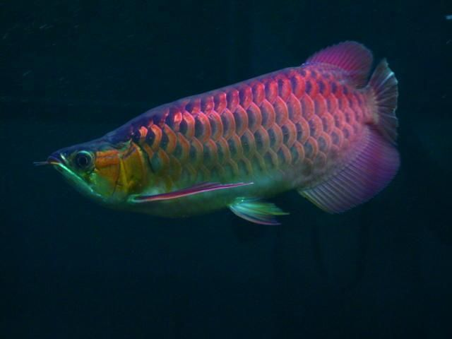 Arowana Co Uk Shop King Super Red Arowana Aquarium Fish Dragon Fish Freshwater Aquarium Fish