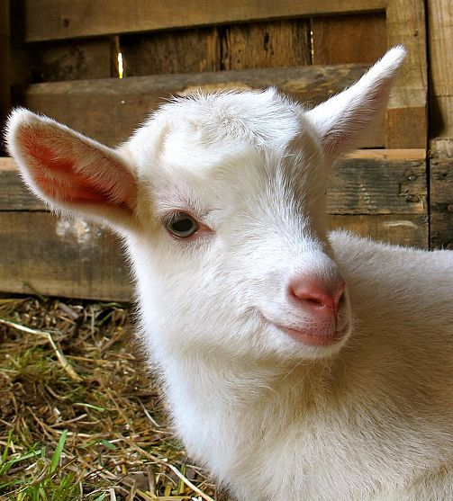 5 Best Dairy Goat Breeds For The Homestead