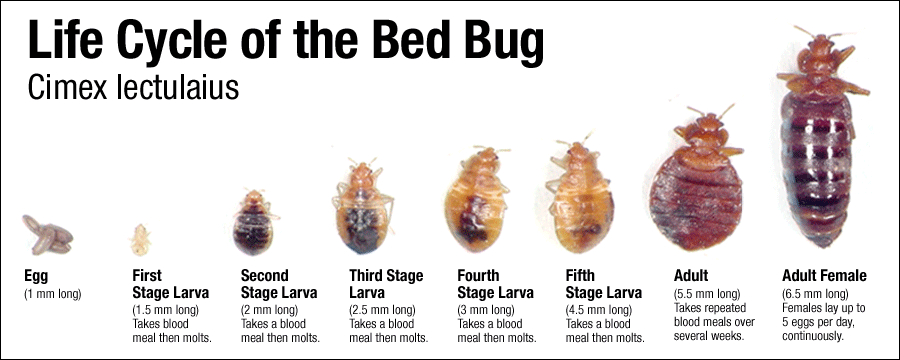 Bed Bugs With Images Bed Bugs Rid Of Bed Bugs Bed Bug Bites