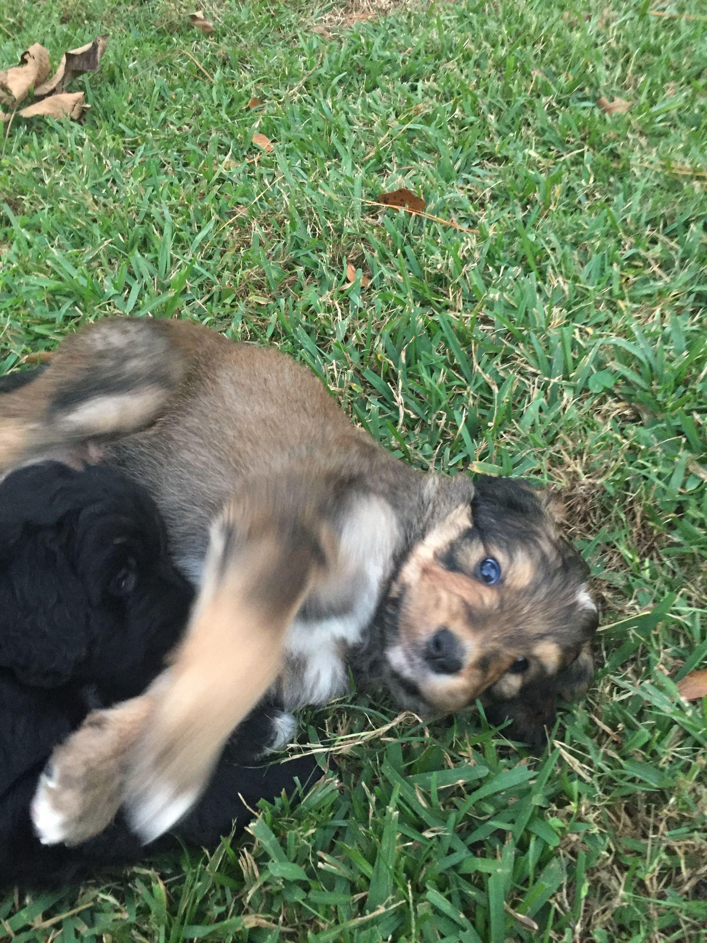 Park Art My WordPress Blog_Bernedoodle Puppies Immediately Available Nj