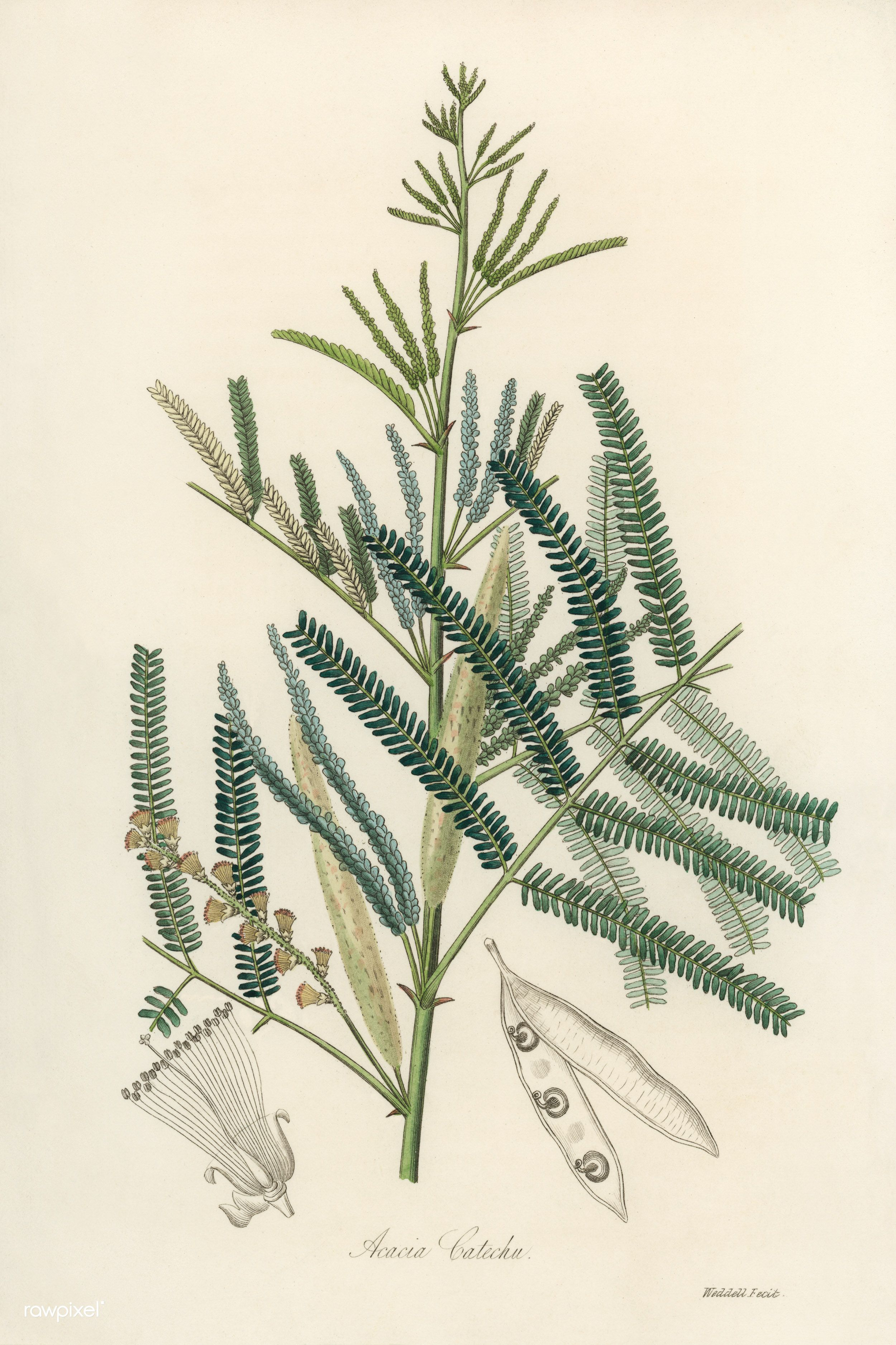 Antique Illustration Of Acacia Catechu 27104973727 O Flowers Plants Botany Vintage Retro Paintings Antique Illustration Illustration Free Illustrations