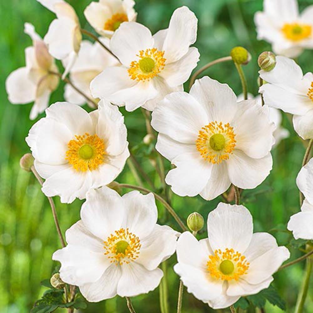 Spring Hill Nurseries Honorine Jobert Japanese Anemone