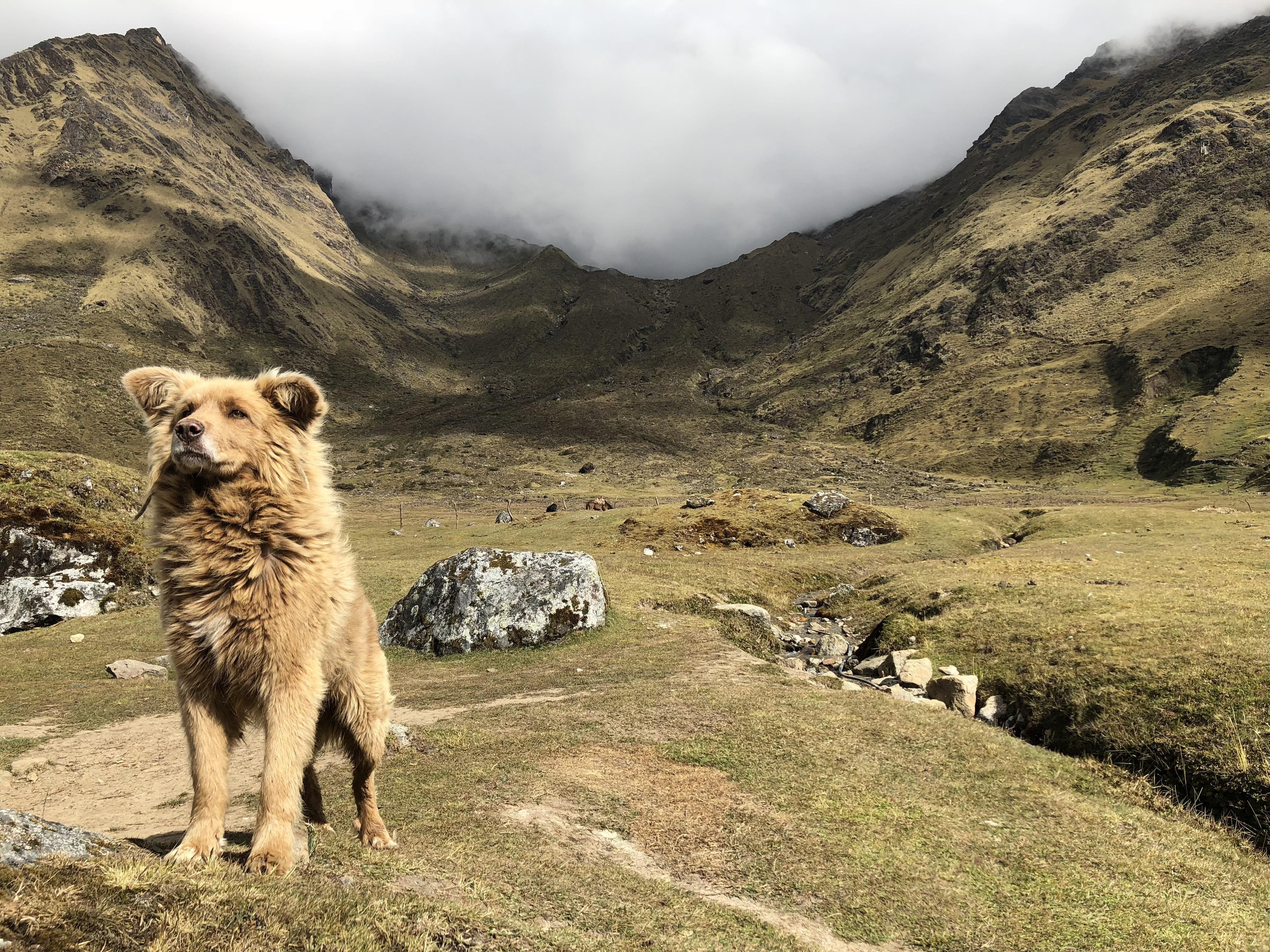 Goode boye peruvian herding dog hello there bright people are