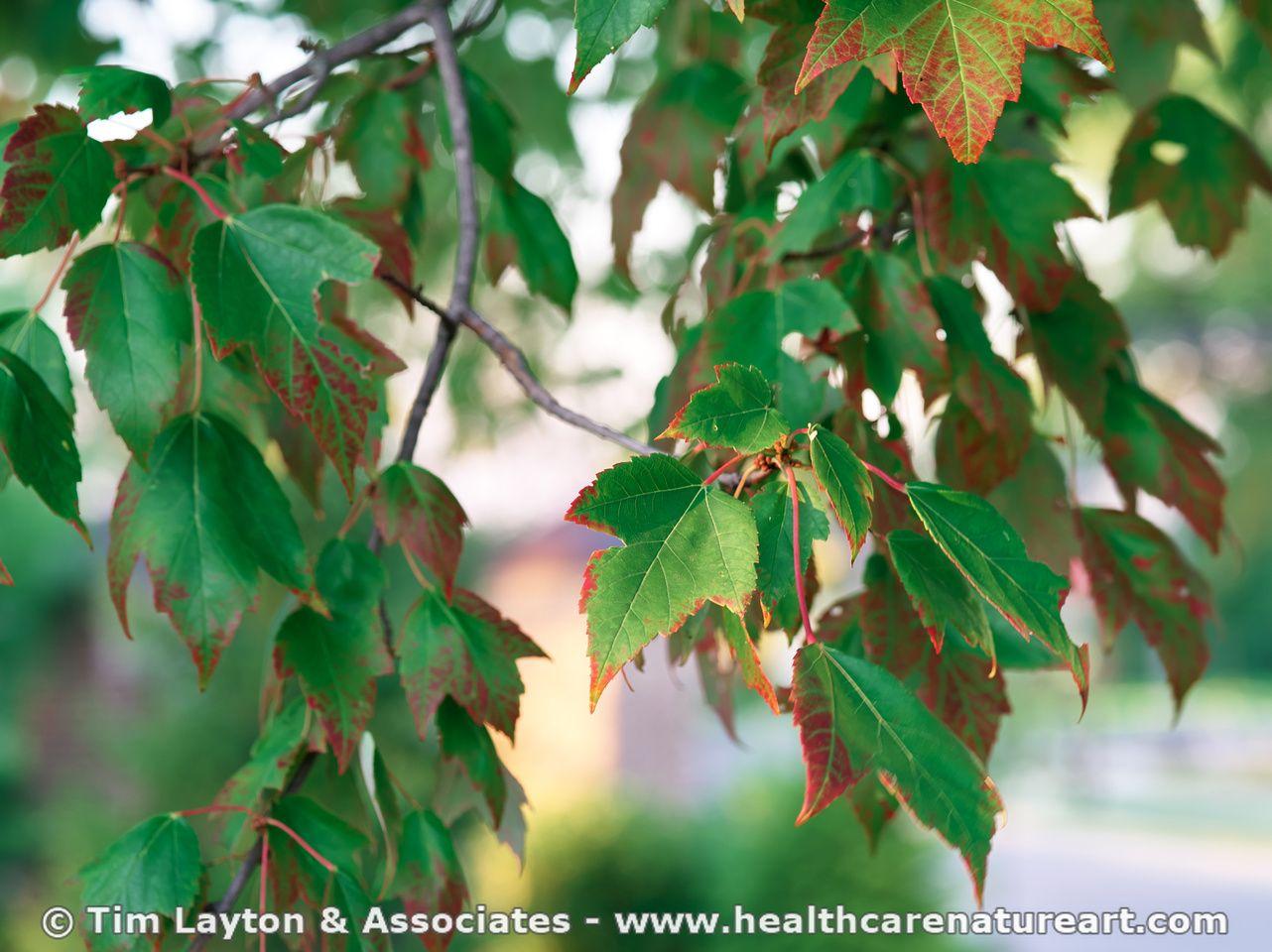 Maple Tree - Beginning Fall Colors - #tree #nature | Trees ...