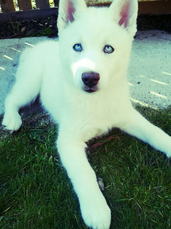 What Breeds Dog Have The White Ice Blue Eyes