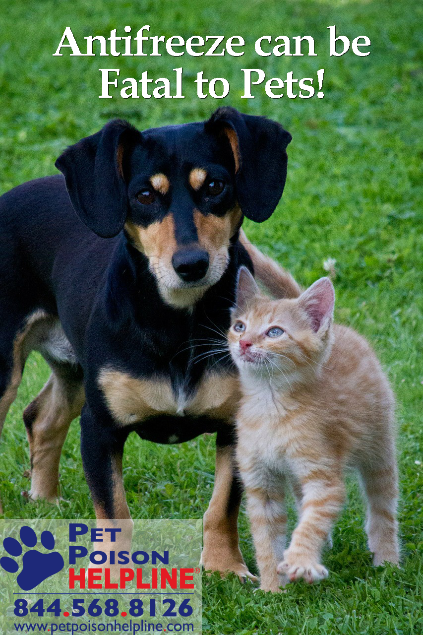 Antifreeze Poisoning in Dogs & Cats (Ethylene Glycol