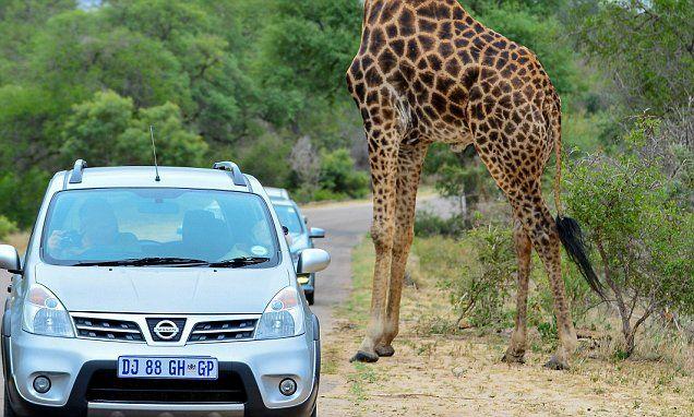 Giraffe seems to have lost its head in bizarre photo