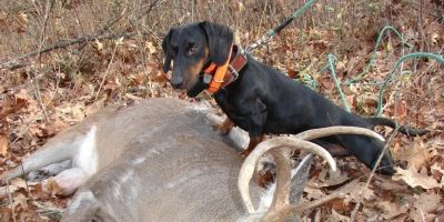 Dachshund Deer Tracking Hunting Dog Outdoor Channel Outdoor