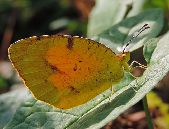 A Sleepy Orange in Howard Co., Maryland (9/1/2013). (Photo ID: 8110 - Psn: 10)