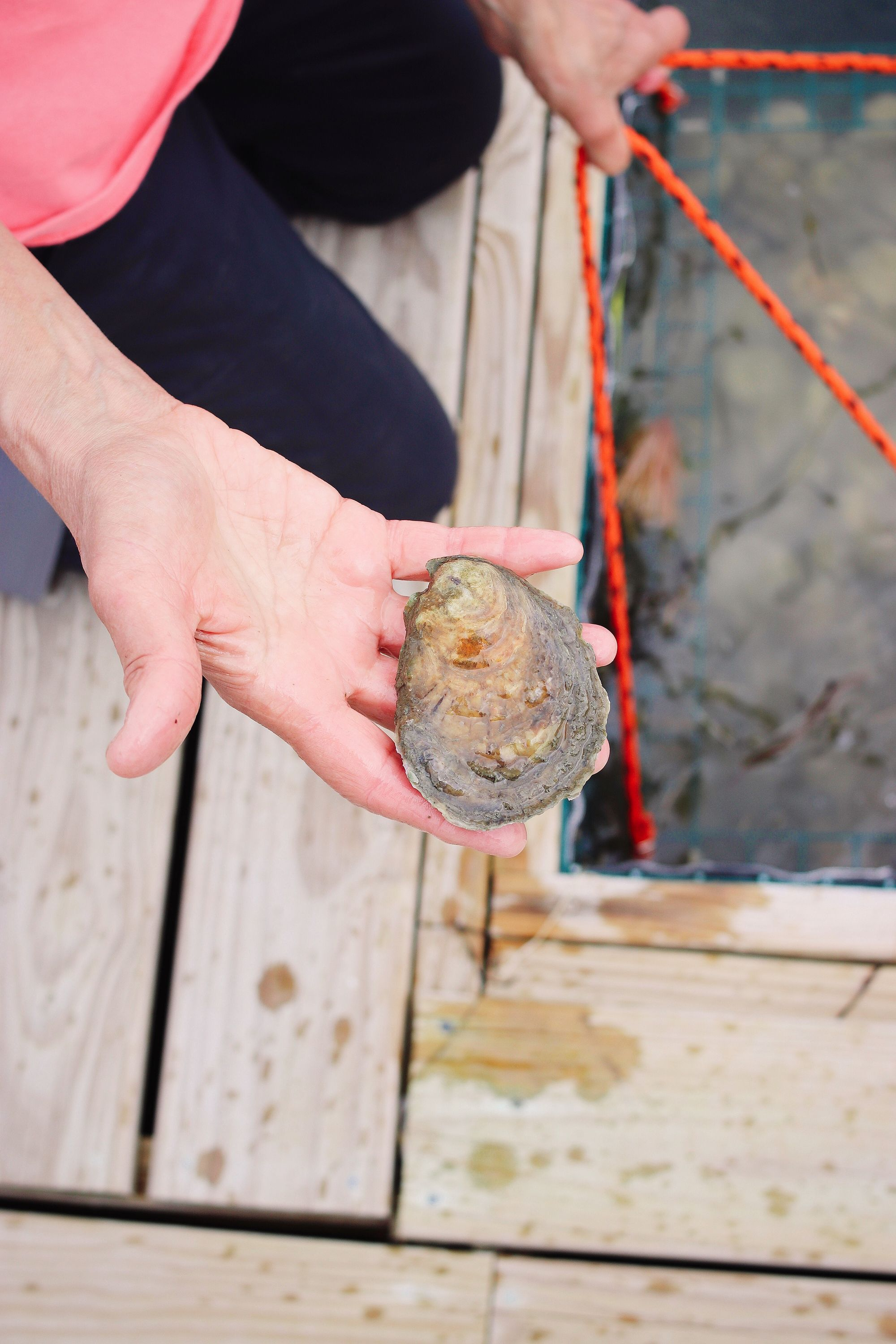 Appledore Oysters produces flavorful Damariscotta River oysters.  #eventideoysterco  #eatmoreoysters #oysterlovers #oysters #oysterlove #seafood #seafoodlovers #oysterfarmers #oysterfarming #oysterfarm #bigtreehospitality #shucker #portlandmaine #mainefood #maineeats #mainerestaurants #newengland #mainelovers #mainefoodies