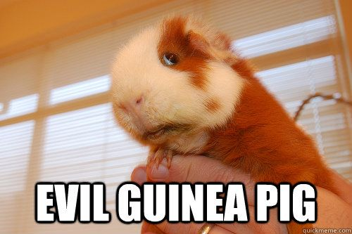 Pin On Guinea Pig Meme Board
